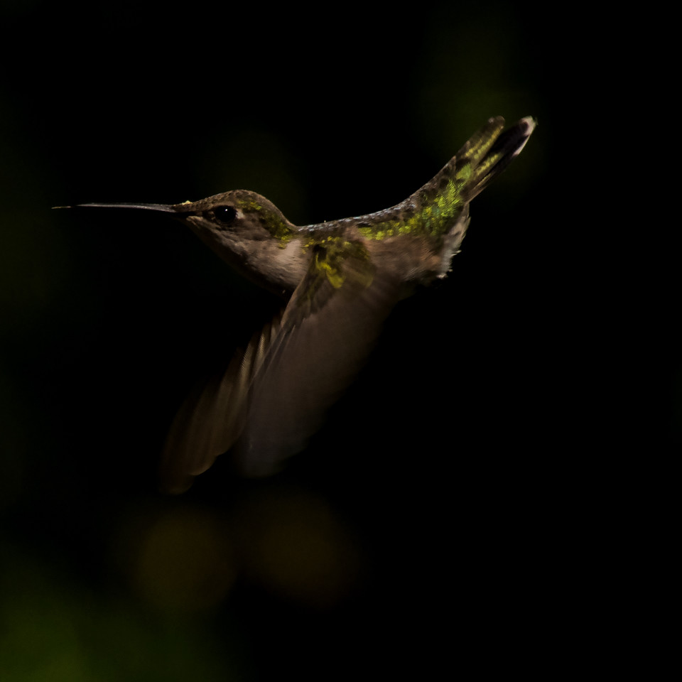 In-flight Hummingbird