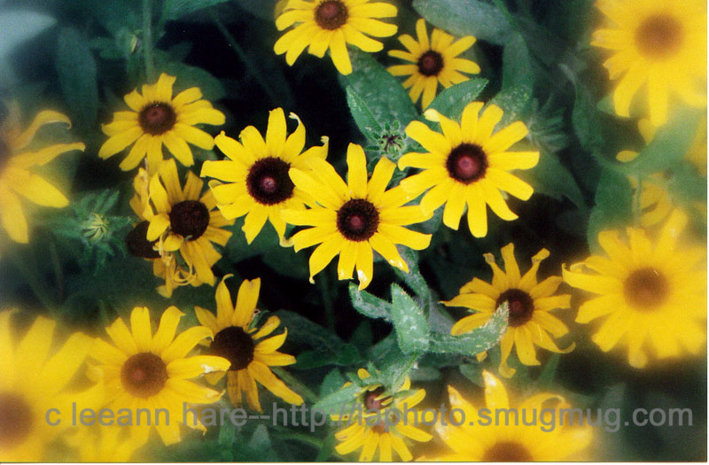 blackeyed susans with filter