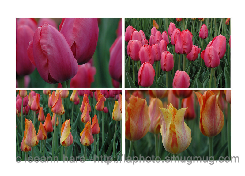 tulip collage copy