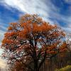Flotteste treet på Hvervenbukta i høstfarger.<br /> 2. nov 2011