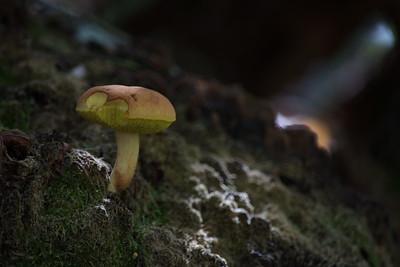 Mushroom 40