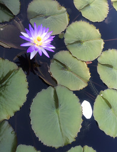 This flower thrives on water among the lily pads at the Atlanta Botanical Garden. Photo By Elizabeth Bachman