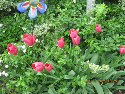 These are tulips from the Nelson garden. Photo by Gloria Nelson