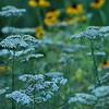Yarrow Blooming