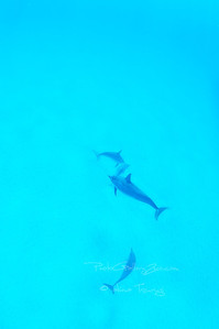 Oahu Hawaii; Hawaiian spiner dolphin
