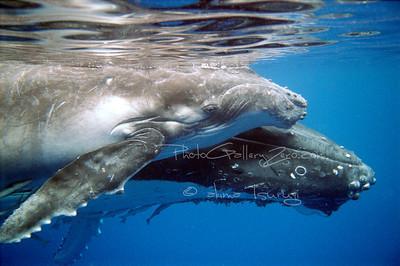 Tonga; hump back whale