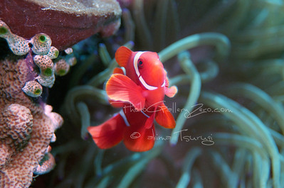 Bunaken Indonesia; spain cheek anemone fish
