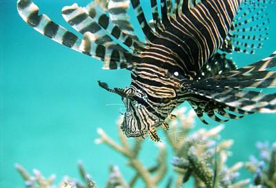 Vanuatu; Lion fish