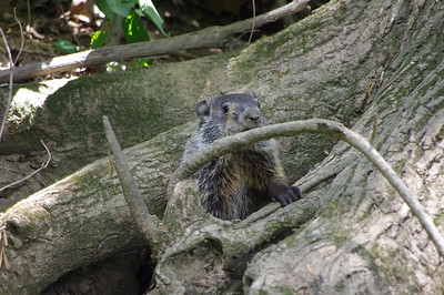 Walked by this guys house and I don't think he was very happy about me being in his neighborhood. Couldn't tell for sure what he/she was, there were trees that were cut like a beaver  but I didn't see any beaver damns in the area so I;m thinking maybe a muskrat.