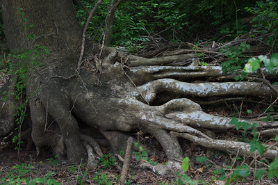This tree was still alive, thought it was interesting the way the roots were all exposed