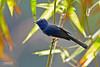 <b>Black-naped Monarch</b> (<i>Hypothymis azurea</i>), common, resident Mt. Palay-Palay, Ternate, Cavite  40D, 400/5.6, ISO 400, f/5.6, 1/80 sec, manual exposure, tripod/gimbal, cropped