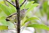 <b>Pygmy Flowerpecker</b> (<i>Dicaeum pygmaeum</i>), endemic Los Baños, Laguna, 19 June 2011  40D, 400 f/5.6, ISO 1000, f/5.6, 1/200 sec, manual exposure, handheld
