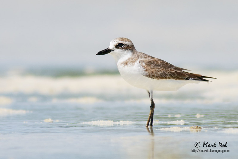 Another Greater Sand-Plover (Charadrius leschenaultii) standing still under the Olango sun.