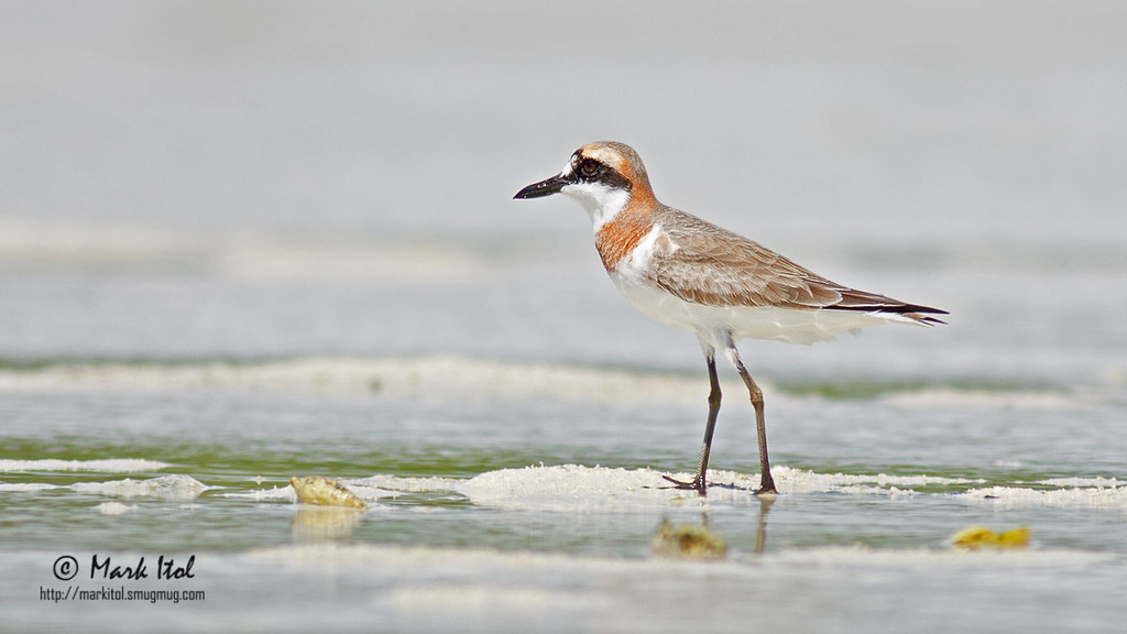 A Greater Sand-Plover (Charadrius leschenaultii) in its honeymoon outfit pauses for a moment before continuing its pursuit for sustenance. A little head turn towards me would have been nice.  40D, 400 f/5.6 L, ISO 200, f/5.6, 1/800 sec
