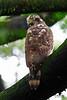 <b>Philippine Serpent-Eagle</b> (<i>Spilornis holospilus</i>, juvenile), endemic UP Diliman, Quezon City