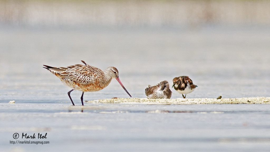 This Bar-tailed Godwit (Limosa lapponica) checks the water for food while a Ruddy Turnstone and another wader take comfort on a dry patch of land.