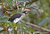 <b>Luzon Hornbill</b> (<i>Penelopides manillae</i>), endemic Subic, Zambales