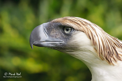 Philippine Eagle (Pithecophaga jefferyi), national bird of the Philippines, critically endangered PEC, Malagos, Davao (shot in captivity)