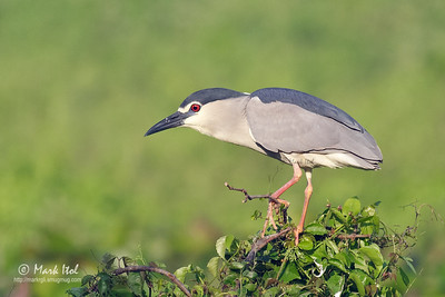 Black-crowned Night Heron (Nycticorax nycticorax), common, resident Valenzuela City, Metro Manila