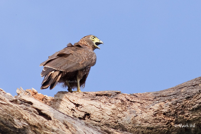 <b>Philippine Serpent-Eagle</b> (<i>Spilornis holospilus</i>), endemic Makiling, UPLB, Laguna