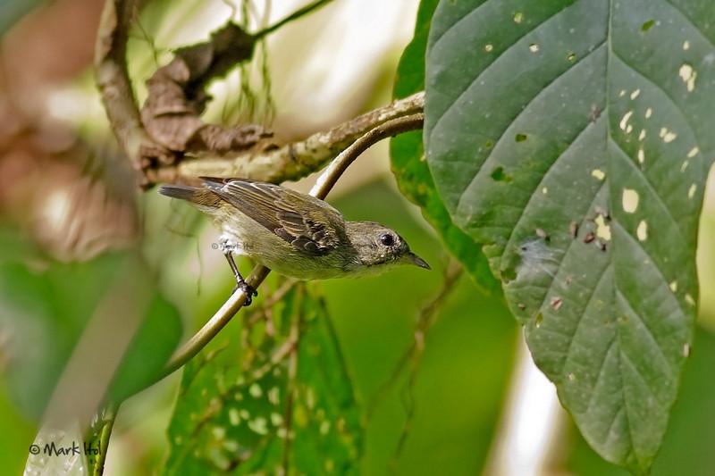 <b>Pygmy Flowerpecker</b> (<i>Dicaeum pygmaeum</i>), endemic Masagana, Oriental Mindoro