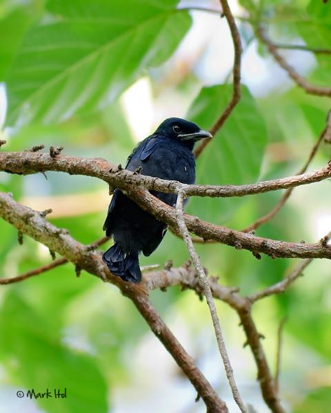 <b>Balicassiao</b> (<i>Dicrurus balicassius</i>, juvenile), common, endemic Masagana, Oriental Mindoro