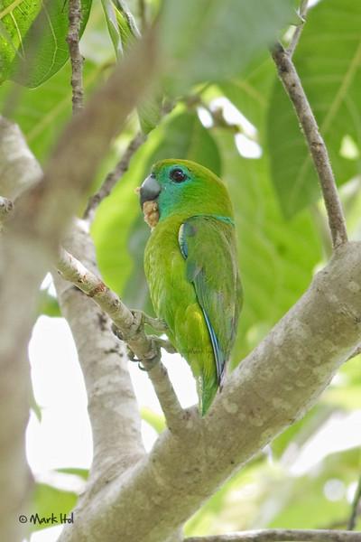 <b>Guiabero</b> (<i>Bolbopsittacus lunulatus</i>), endemic Subic, Zambales
