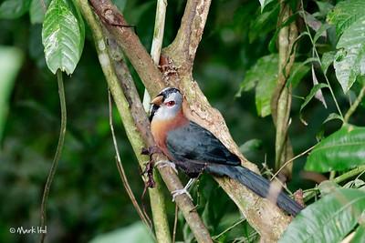 Scale-feathered Malkoha (Phaenicophaeus cumingi) Makiling, UPLB, Laguna