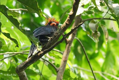 Red-crested Malkoha (Phaenicophaeus superciliosus), endemic Makiling Botanic Gardens, UPLB, Laguna