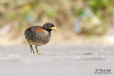Barred Buttonquail (Turnix suscitator fasciata, endemic race)  Los Baños, Laguna, 23 April 2011  40D, 400/5.6 L, ISO 200, f/5.6, 1/800 sec, manual exposure, Osawa Ground Support, cropped