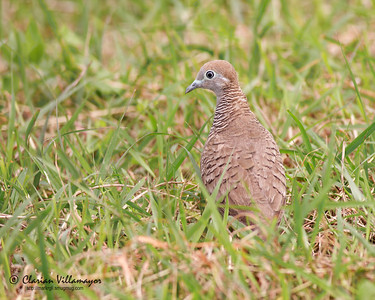 Zebra Dove (Geopelia striata), common, resident Los Banos, Laguna, 6 Feb 2011  Photographed by Clarian (my girlfriend). I did the post-processing.  40D, 400/5.6, ISO 400, f/5.6, 1/640 sec, manual exposure, car window support, full frame cropped to 5:4 to improve composition
