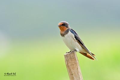 Barn Swallow (Hirundo rustica), common UPLB, Laguna  40D, 400/5.6 L, ISO 400, f/5.6, 1/160 sec, manual exposure, handheld, cropped