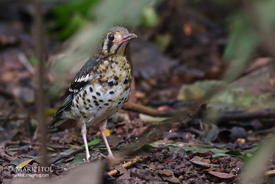 Ashy Ground Thrush at LMEP (18 Sep 2011)