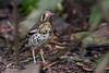 <b>Ashy Ground-Thrush</b> (<i>Zoothera cinerea</i>), endemic La Mesa Ecopark, Philippines, 18 Sep 2011   40D, 400 f/5.6, ISO 1250, f/5.6, 1/30 sec, manual exposure, tripod/gimbal, NR on surrounding