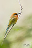 <b>Blue-tailed Bee-eater</b> (<i>Merops philippinus</i>) Candaba, Pampanga  40D, 400/5.6 L, ISO 400, f/5.6, 1/100 sec, manual exposure, handheld (leaning on the Great Wall of Candaba)