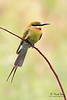 <b>Blue-tailed Bee-eater</b> (<i>Merops philippinus</i>) Candaba, Pampanga  40D, 400/5.6 L, ISO 640, f/5.6, 1/125 sec, manual exposure, handheld (leaning on the Great Wall of Candaba)