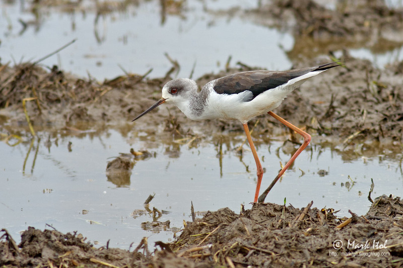 <b>Blacked-winged Stilt</b> (<i>Himantopus himantopus</i>) Candaba,Pampanga, 9 Jan 2011  Wished for a cleaner setting but somehow I like this image as it shows the habitat.  40D, 400/5.6 L, ISO 320, f/5.6, 1/800 sec, manual exposure, handheld