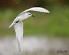 <b>Whiskered Tern</b> (<i>Chlidonias hybridus</i>) Candaba, Pampanga, 9 Jan 2011  40D, 400/5.6 L, ISO 400, f/5.6, 1/1600 sec, manual exposure, handheld, cropped