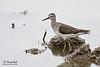 <b>Wood Sandpiper</b> (<i>Tringa glareola</i>) Candaba, Pampanga, 9 Jan 2011  40D, 400/5.6 L, ISO 320, f/5.6, 1/640 sec, manual exposure, car window support, cropped