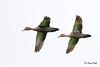 <b>Philippine Duck</b> (<i>Anas luzonica</i>), Philippine endemic Candaba,Pampanga, 9 Jan 2011  40D, 400 f/5.6 L, ISO 400, f/5.6, 1/1600 sec, manual exposure, handheld