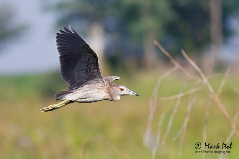 <b>Black-crowned Night Heron</b> (<i>Nycticorax nycticorax</i>), immature Candaba, Pampanga, 7 Jan 2012  40D, 400 f/5.6 L, ISO 400, f/5.6, 1/2000 sec, manual exposure, handheld