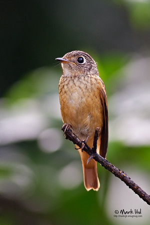 Ferruginous Flycatcher in UPD (20 Nov 2010)