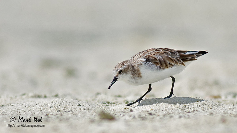A Rufous-necked Stint (Calidris ruficollis), mud and sand on its beak, scours the ground for nourishment.