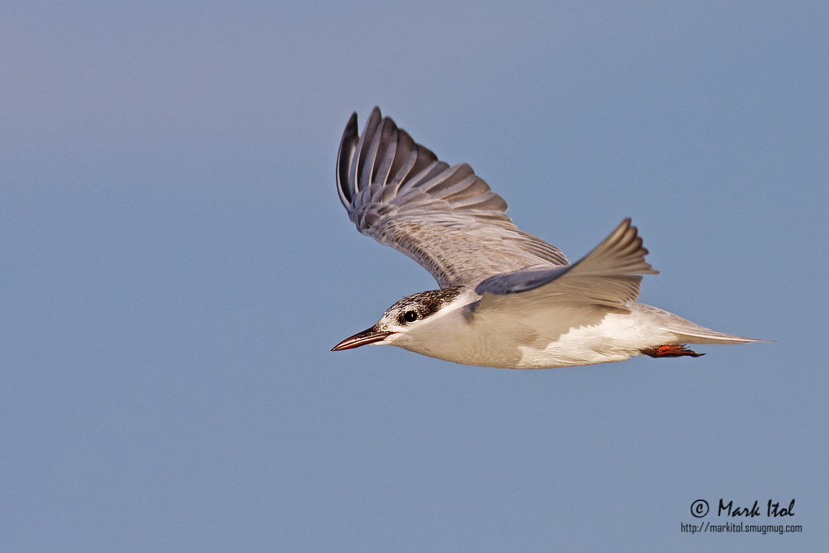 """Another shot of a Whiskered Tern (Chlidonias hybridus) in a """"not-so-standard"""" wing position."""