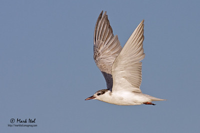 A Whiskered Tern (Chlidonias hybridus) flies in full speed in the golden Olango sunset.  40D, 400 f/5.6 L, ISO 400, f/7.1, 1/2000 sec, manual exposure, handheld