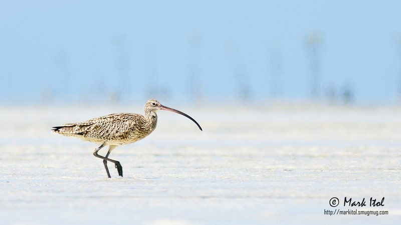 Living up to the first word of its name, this Far Eastern Curlew (Numenius madagascariensis) ensured that it can only be photographed a light year away. A 1600mm would come in handy.  40D, 400 f/5.6 L, ISO 200, f/5.6, 1/800 sec