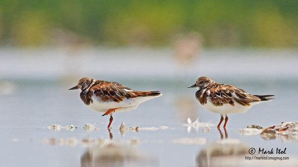 Now in their breeding plumage, a pair of Ruddy Turnstones (Arenaria interpres) take a rest under the mid-day heat. One certainly wanted to make an impression and does a one-legged stand.   40D, 400 f/5.6 L, ISO 200, f/5.6, 1/1250 sec