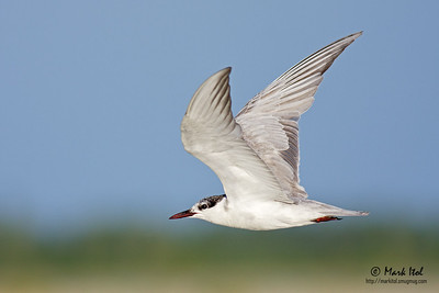 I regret that this Whiskered Tern (Chlidonias hybridus) is flying away from me, but I dig the gradient background so I'll take this as a keeper.