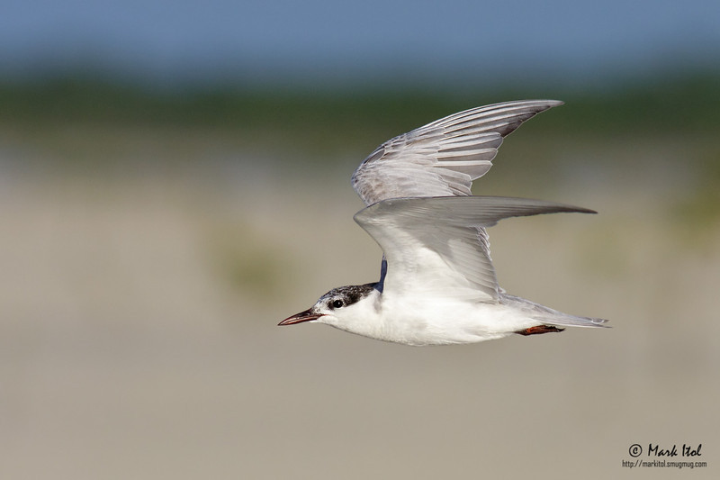 Whiskered Tern (Chlidonias hybridus) flying against a lovely melted background.  40D, 400 f/5.6 L, ISO 400, f/7.1, 1/2000 sec, manual exposure, handheld