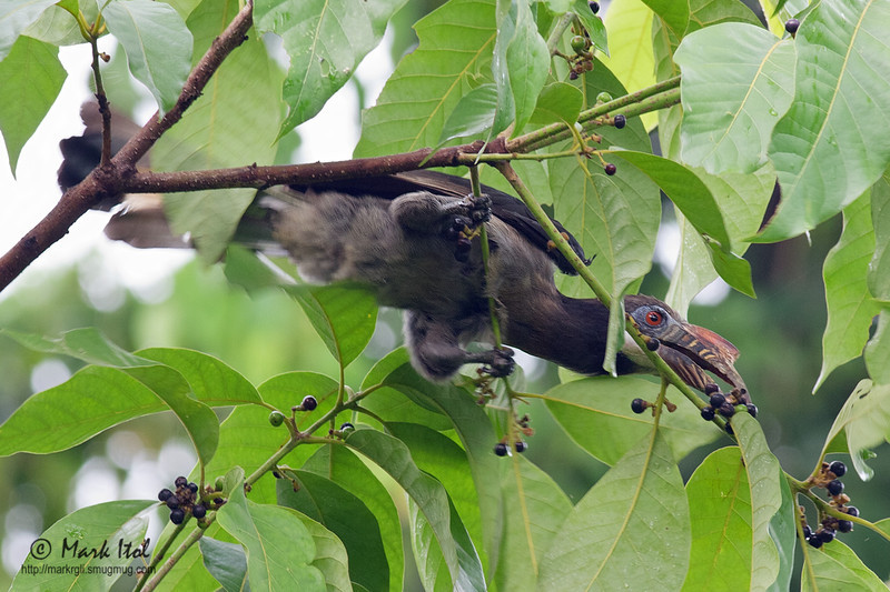 <b>Tarictic Hornbil / Luzon Hornbill</b> (<i>Penelopides manillae</i>, female), endemic Subic, Zambales, 11 Jun 2011  40D, 400 f/5.6, ISO 640, f/8, 1/80 sec, manual exposure, handheld